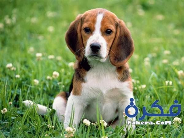 اسماء كلاب جديدة 2019 beagles-cute.jpg