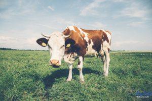 تفسير حلم رؤية البقرة في المنام