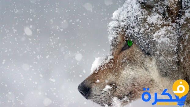 رؤية الذئب