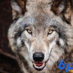 تفسير حلم رؤية الذئب