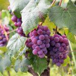 تفسير حلم اكل العنب في المنام