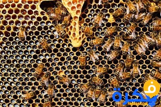 النحل فى المنام