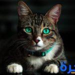 تفسير حلم رؤية القط او القطة للعزباء