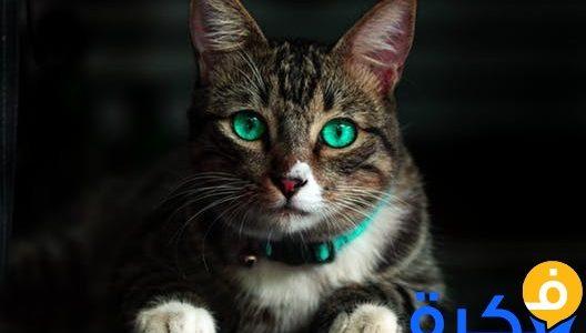 تفسير حلم رؤية القط للعزباء