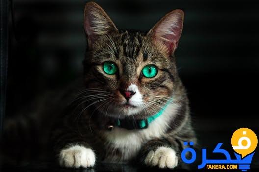 4c3152657b156 تفسير حلم رؤية القط او القطة للعزباء موقع فكرة