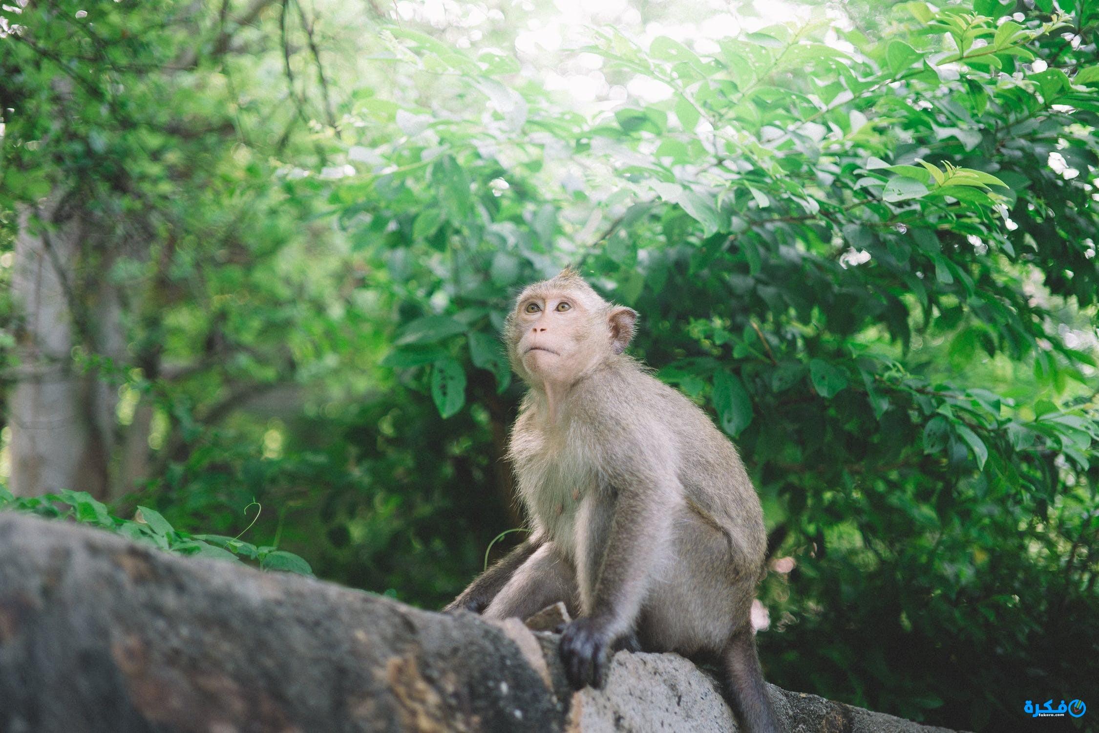 تفسير رؤية القرد