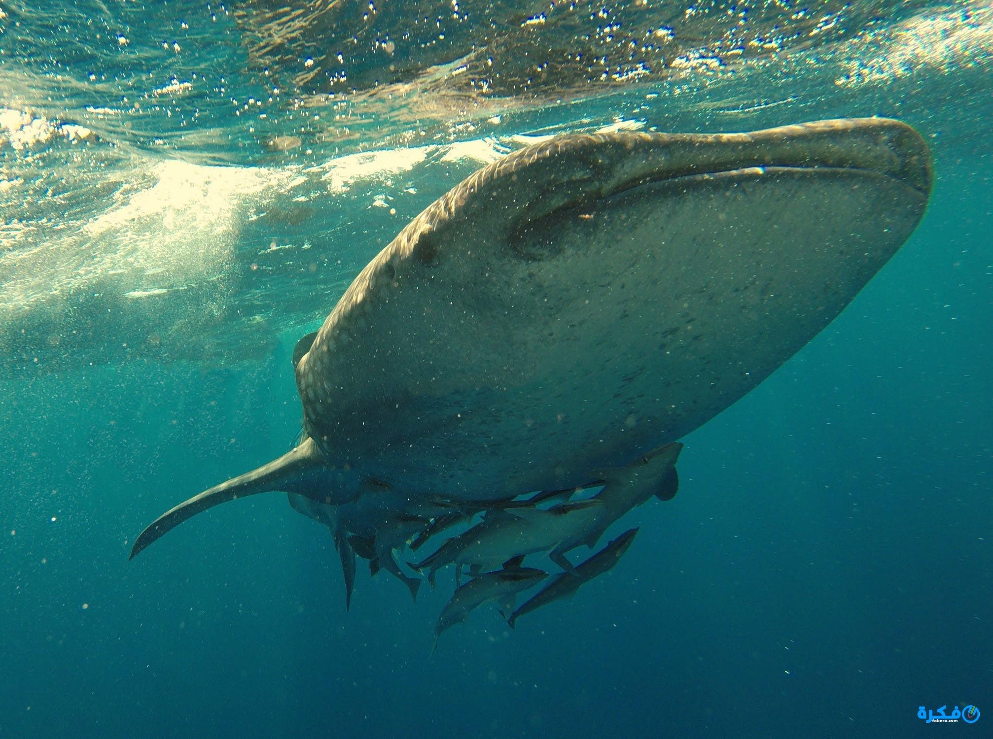 تفسير رؤية سمك القرش