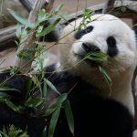 تفسير حلم رؤية الباندا