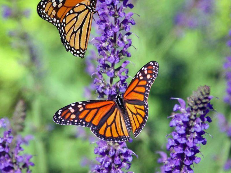 الفراشة في الحلم