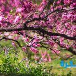 فوائد نبتة الخزامي