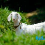تفسير حلم الماعز في المنام