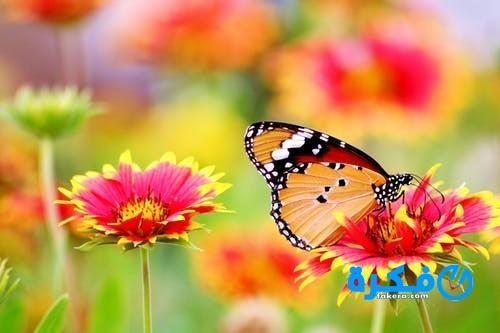 تفسير حلم الفراشة