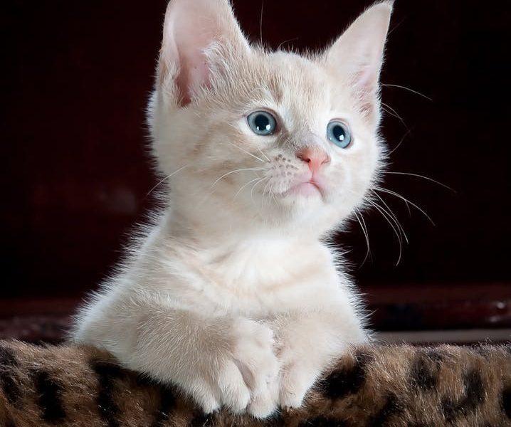 تفسير حلم صوت القطة