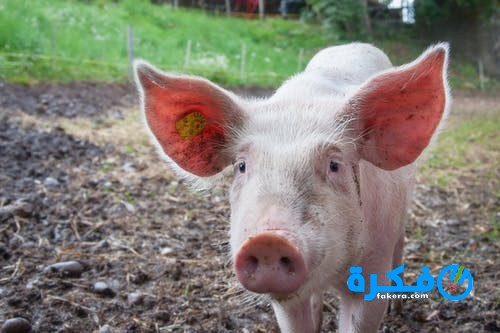 تفسير حلم رؤية الخنزير