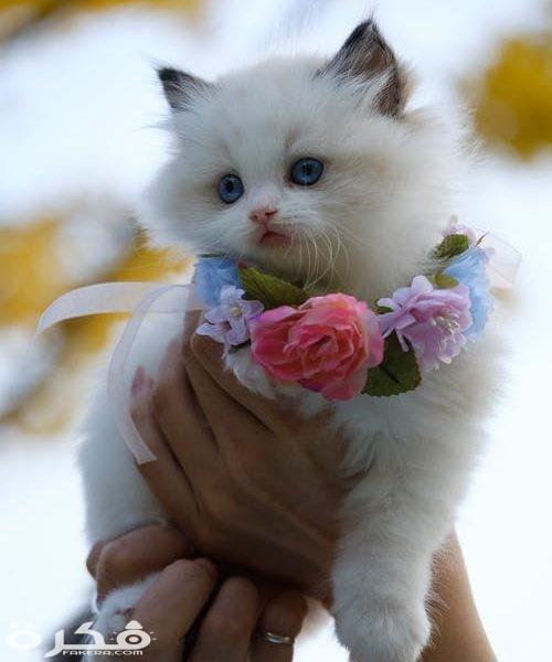 صور قطط 2021 أجمل الصور خلفيات قطط صغيرة