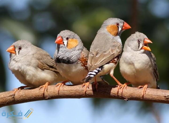 متى تبيض طيور الزيبرا بعد التزواج