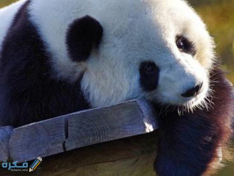 صور خلفيات حيوان الباندا 2021