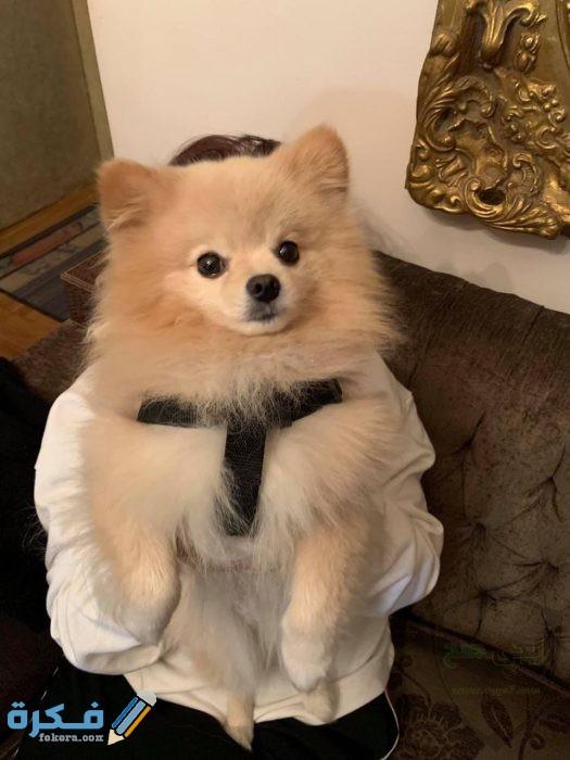 تدريب الكلاب اللولو على الطاعة