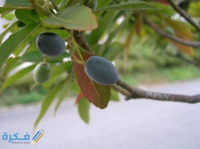 متى تثمر شجرة الزيتون بعد غرسها