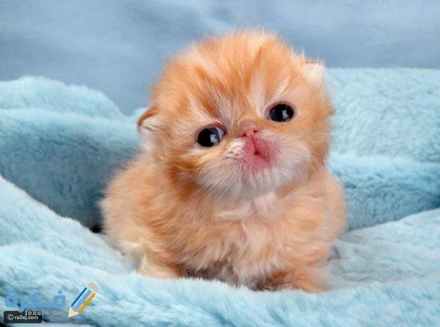 أسعار القطط الصغيرة