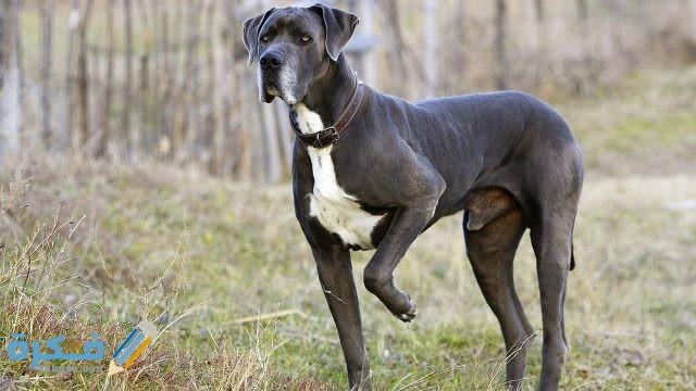 الكلب الدنماركي