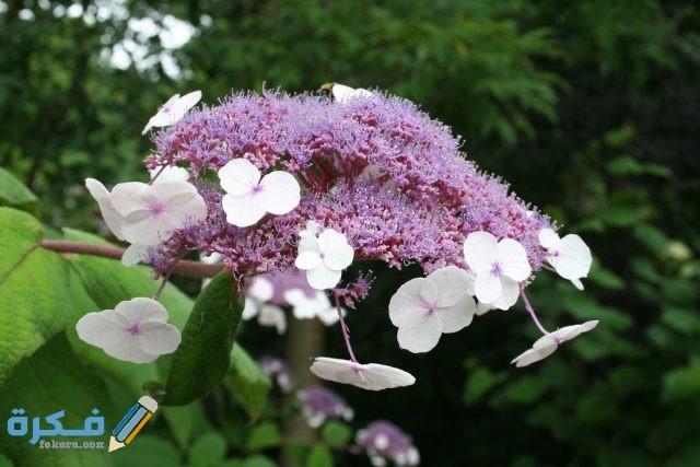 زهرة الهندراج الخشنة