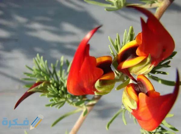 زهرة منقار الببغاء الذهبية