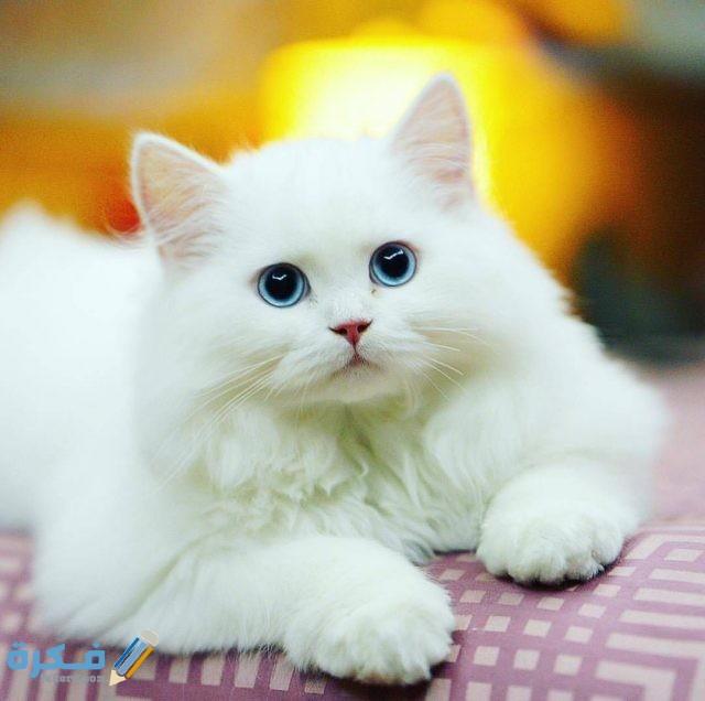 مواصفات قطط الهملايا الجسدية