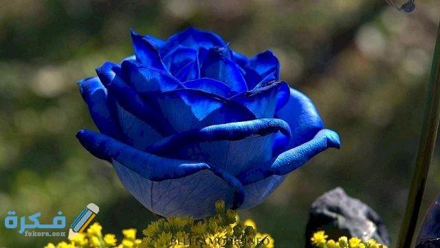 تاريخ تطور الوردة الزرقاء