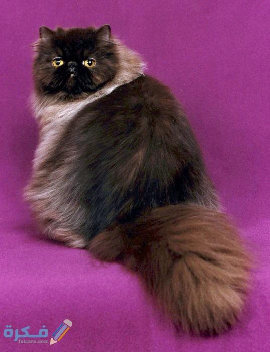 أنواع القطط الشيرازي والرومي واسمائها