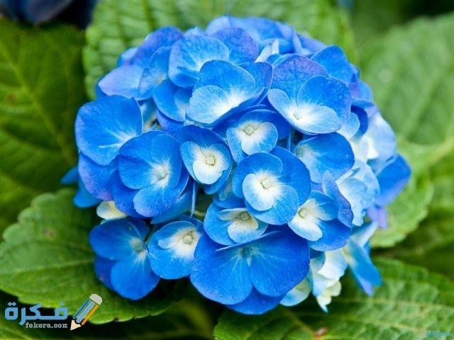معنى الوردة من اللون الأزرق