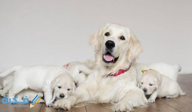 أعراض الولادة عند الكلب