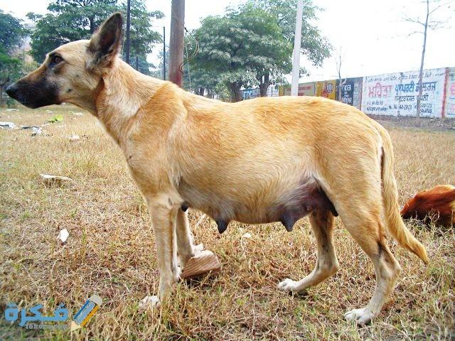 تغذية الكلاب اثناء الحمل