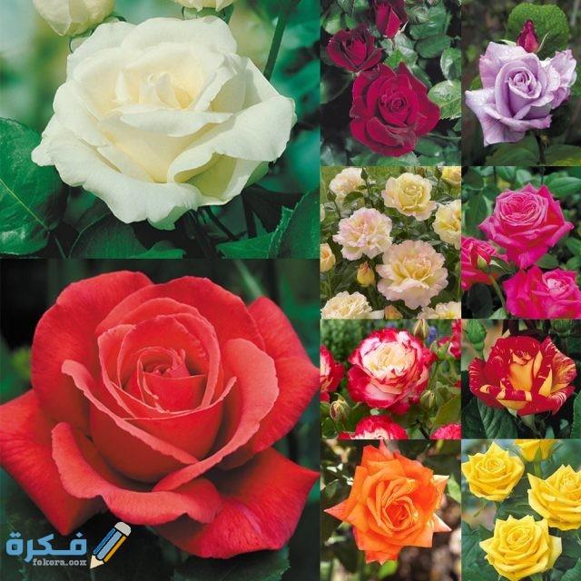 أشهر أنواع الورد