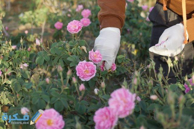 تفسير حلم قطف الورد في المنام