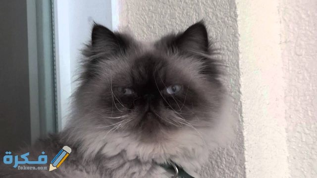 ما هي قطط الهملايا