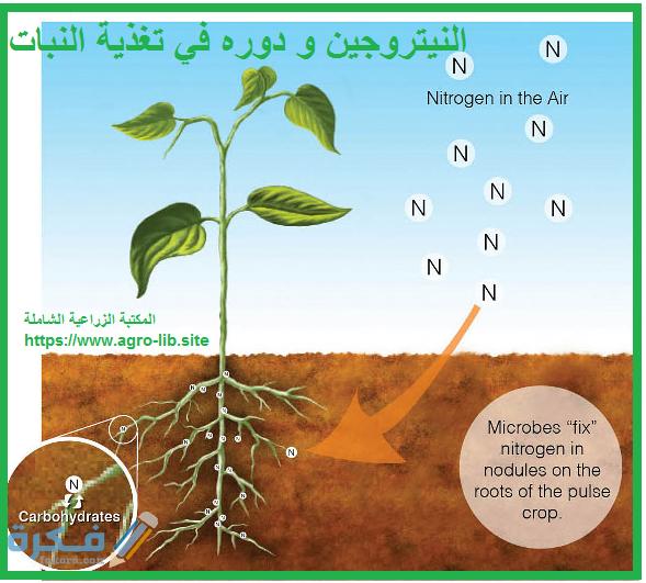 العملية التي تحول فيها البكتيريا والبرق النيتروجين إلى مركبات مفيدة للنباتات هي