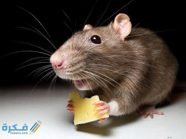 أفضل-طريقة-لقتل-الفئران
