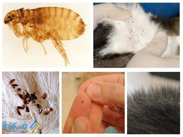 طريقة التخلص من حشرات القطط
