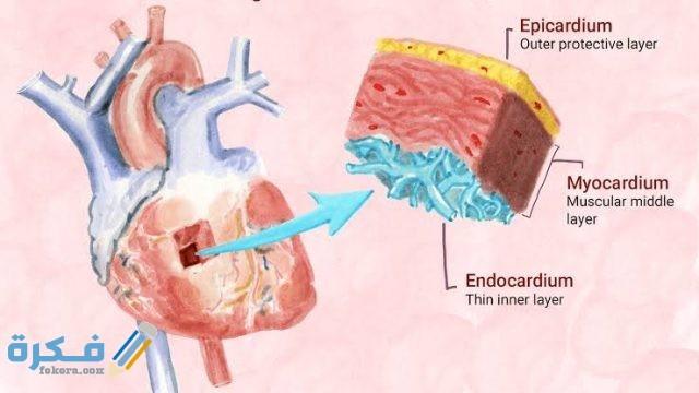 كم نسبة عضلة القلب الطبيعية